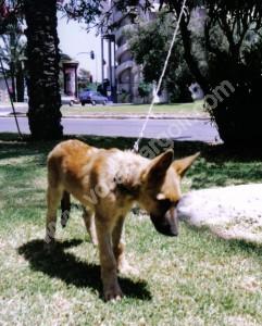 Cachorro adaptandose a llevar correa