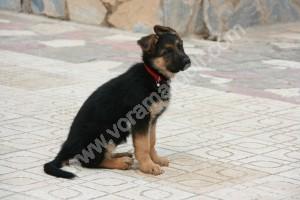 Cachorro con 2 meses, edad ideal para llegar a nuestro hogar