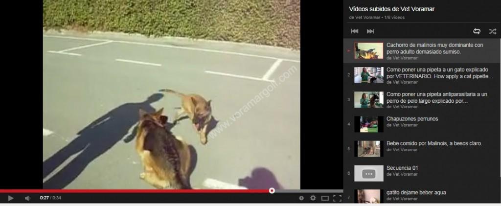 Cachorro dominante con perro adulto sumiso. PINCHA EN LA IMAGEN