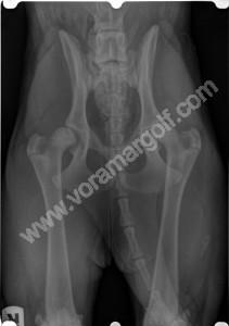 RADIOGRAFIA DE CADERA,  PERRO de 6 meses con displasia de cadera bilateral