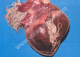 Filariosis cardiaca canina o enfermedad del gusano del corazón.