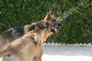 Perro adulto aleccionando a un cachorro de 4 meses.
