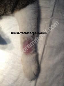 Chancro cutaneo producido por Leishmaniosis en un gato.