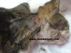 Dermatitis producida por Leishmaniosis en un gato.