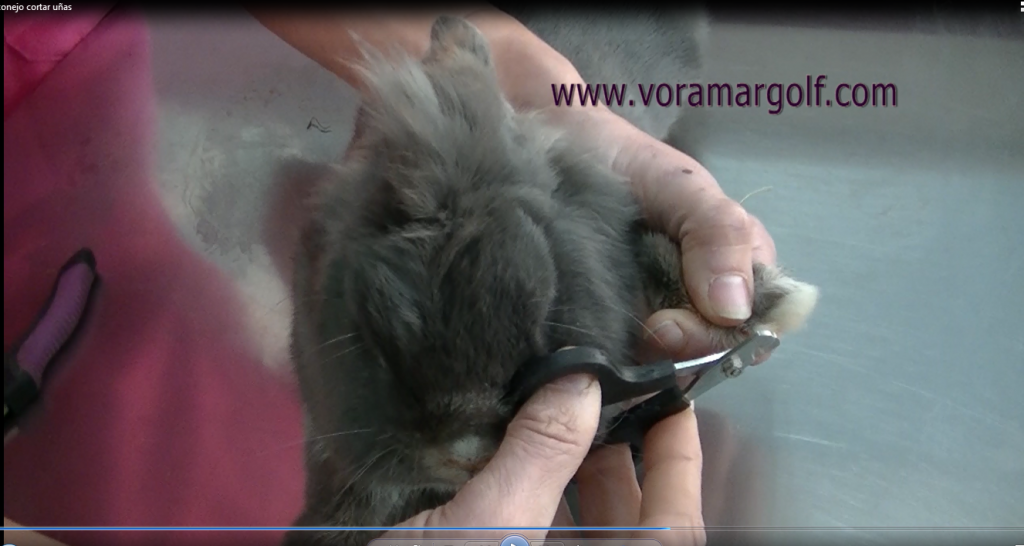 Como cortar las uñas a un conejo.